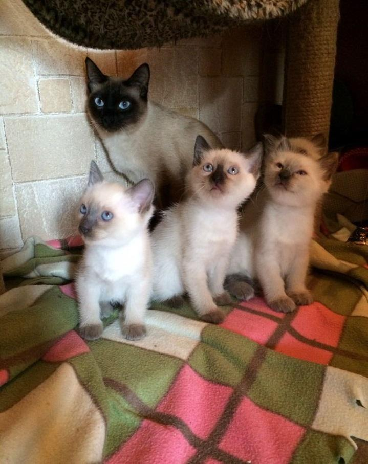 Новорожденные сиамские котята фото